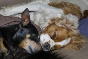 De honden genieten van de huiselijke hondenopvang bij De Roedel Thuis